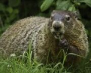 UT News Groundhog Day: A Slightly Sarcastic Origin Story -- but It's True for University of Toledo Students in Toledo, OH